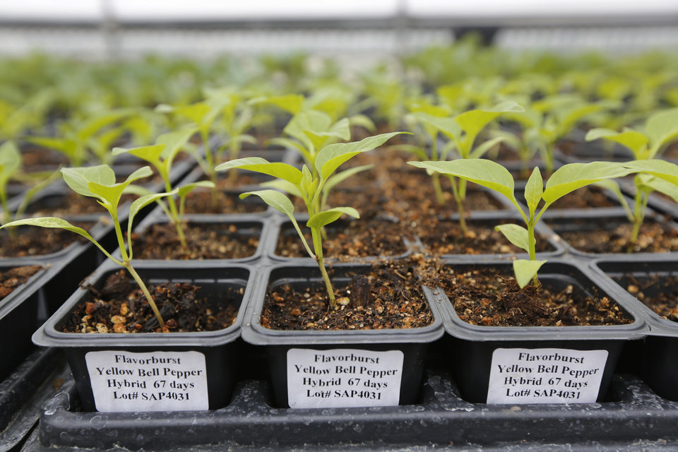 Photo -      Flavorburst yellow bell pepper plants growing at Sunrise Acres in Blanchard will soon produce peppers for the Oklahoma State University at OKC Farmers Market. Photo by Steve Gooch, The Oklahoman   Steve Gooch -  The Oklahoman