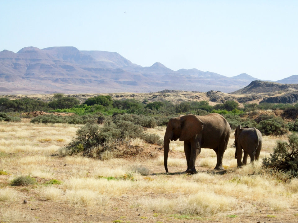 Photo - This June 17, 2014 photo shows elephants roaming in Torra Conservancy in Namibia. Namibia's conservancies give local communities a stake in conservation and development across the country, and a community in northwest Namibia formed a joint venture with a safari company to own and run Damaraland Camp in the Torra Conservancy. (AP Photo/Donna Bryson)