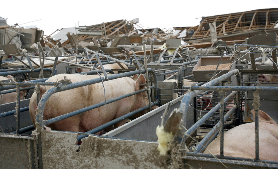 A pig sits in its pen at Farm 62 of Seaboard Foods near Lacey, Okla., Saturday, May 24, 2008. The farm was severely damaged by a tornado. BY SARAH PHIPPS, THE OKLAHOMAN