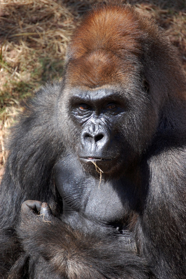 Photo - Bom Bom, a silverback gorilla, died Monday at the Oklahoma City Zoo of a ruptured aneurism in his heart. He was 36. PHOTO PROVIDED BY THE OKLAHOMA CITY ZOO