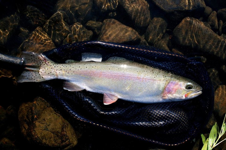 A 17-inch rainbow trout caught from the Lower Mountain Fork River is a prize for any angler. Much of the trout stocked in the Lower Mountain Fork, Lower Illinois and Blue rivers in Oklahoma are raised at two national fish hatcheries in Arkansas. Photo by Donny Carter, For The Oklahoman  <strong>  </strong>