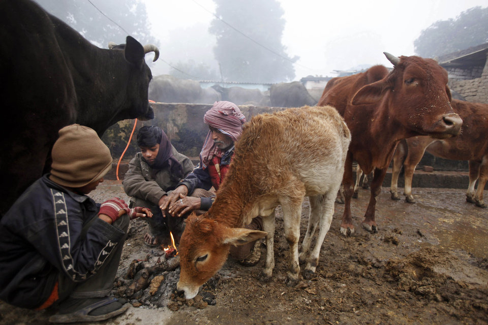 A group of Indian men wrapped in woolen clothes are joined by stray cows as they try to warm themselves around a bonfire on a cold and foggy morning in Allahabad, India, Monday, Jan. 7, 2013. North India continues to face below average weather conditions with dense fog affecting flights and trains. More than 100 people have died of exposure as northern India deals with historically cold temperatures. (AP Photo/Rajesh Kumar Singh)