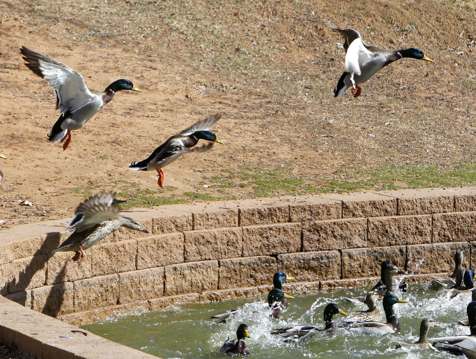 Left: Ducks come in for a landing Monday at Hafer Park in Edmond.  Photo By Paul Hellstern,  The Oklahoman