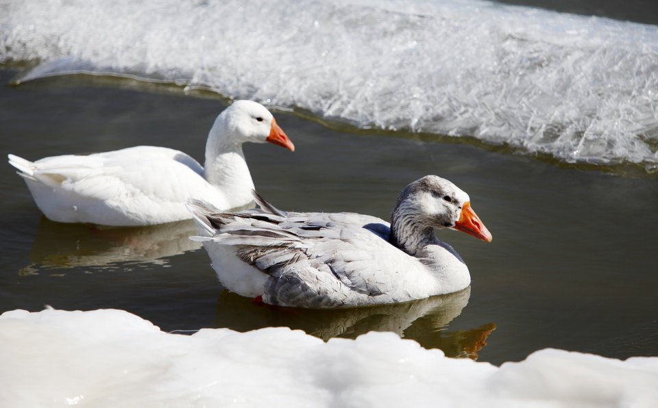 Photo - Geese swim in the icy water on Lake Overholser in Oklahoma City, February  10 , 2011. Photo by Steve Gooch, The Oklahoman