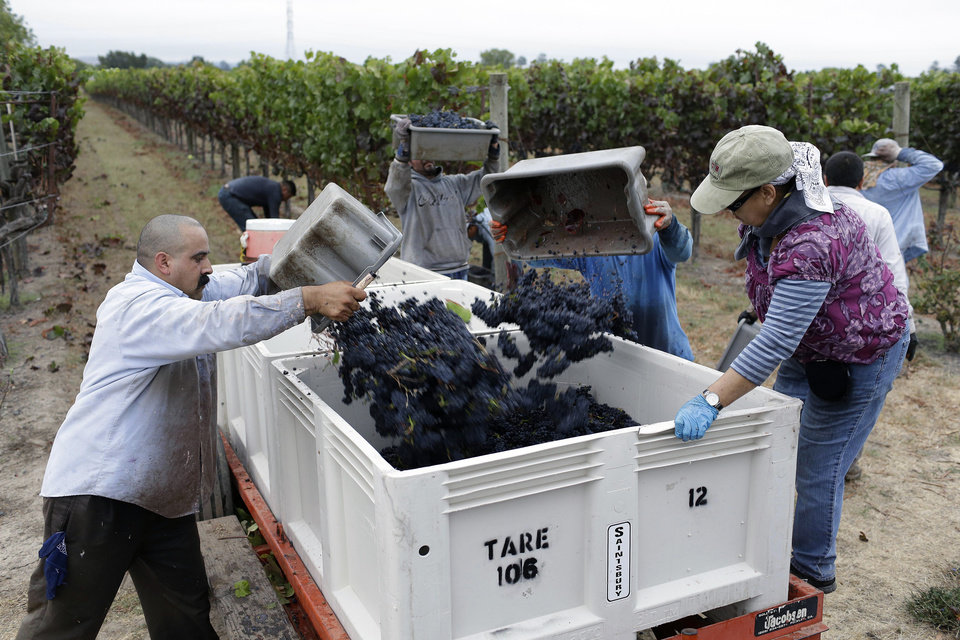 Photo - Farm workers in the Lee Vineyard drop grapes into a bin during the first day of harvest at Saintsbury winery Friday, Aug. 29, 2014, in Napa, Calif. The winery, in the Carneros appellation, began its harvest four days late after sustaining earthquake damage on Sunday. The winery also lost half its library of wines. (AP Photo/Eric Risberg)