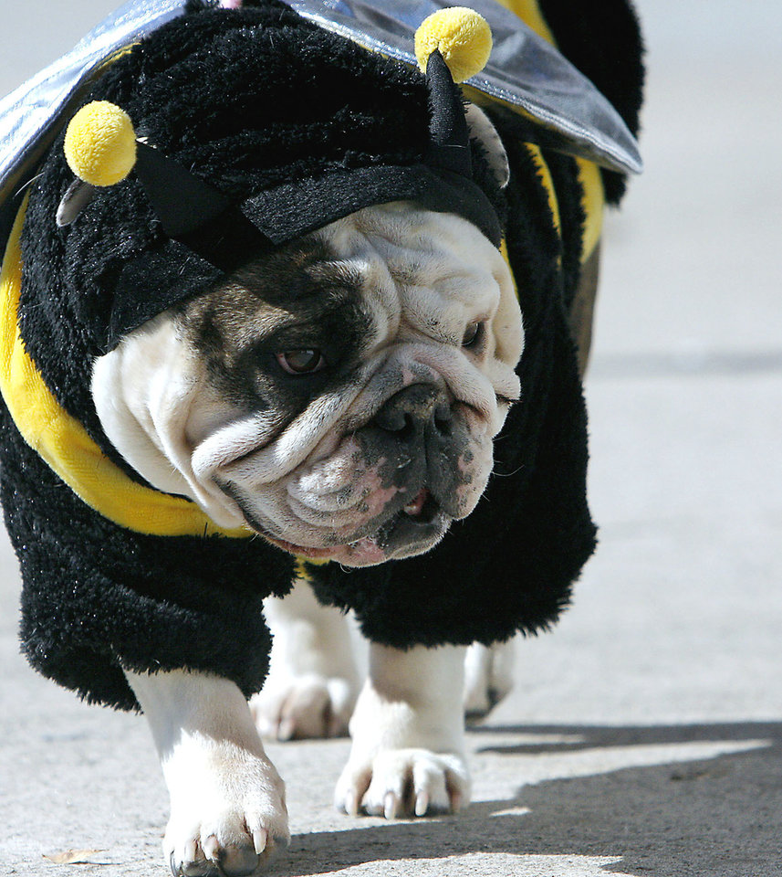 Bella, an English bulldog owned by Jill Miller of Norman, wears a bumblebee outfit at the 2008 Howl-O-Ween on Campus Corner. OKLAHOMAN ARCHIVE PHOTO BY JOHN CLANTON