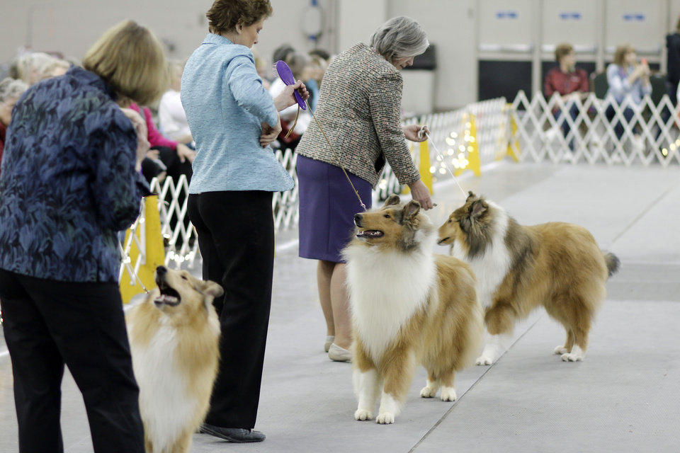 Photo - Rough sable collies in the judging ring at the Collie Club of America dog show at the Cox Convention Center in  Oklahoma City, walk their dogs in the Myriad Botanical Gardens, Wednesday, March 11, 2015. Photo by Doug Hoke, The Oklahoman