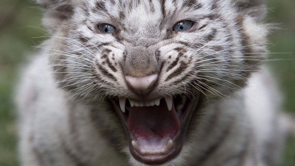 Photo - A white tiger cub growls at the Buenos Aires Zoo in Argentina, Thursday, March 21, 2013.  The cub's mother, Cleo, a captive Bengal white tiger, gave birth to two females and two males on Jan. 14. (AP Photo/Natacha Pisarenko)