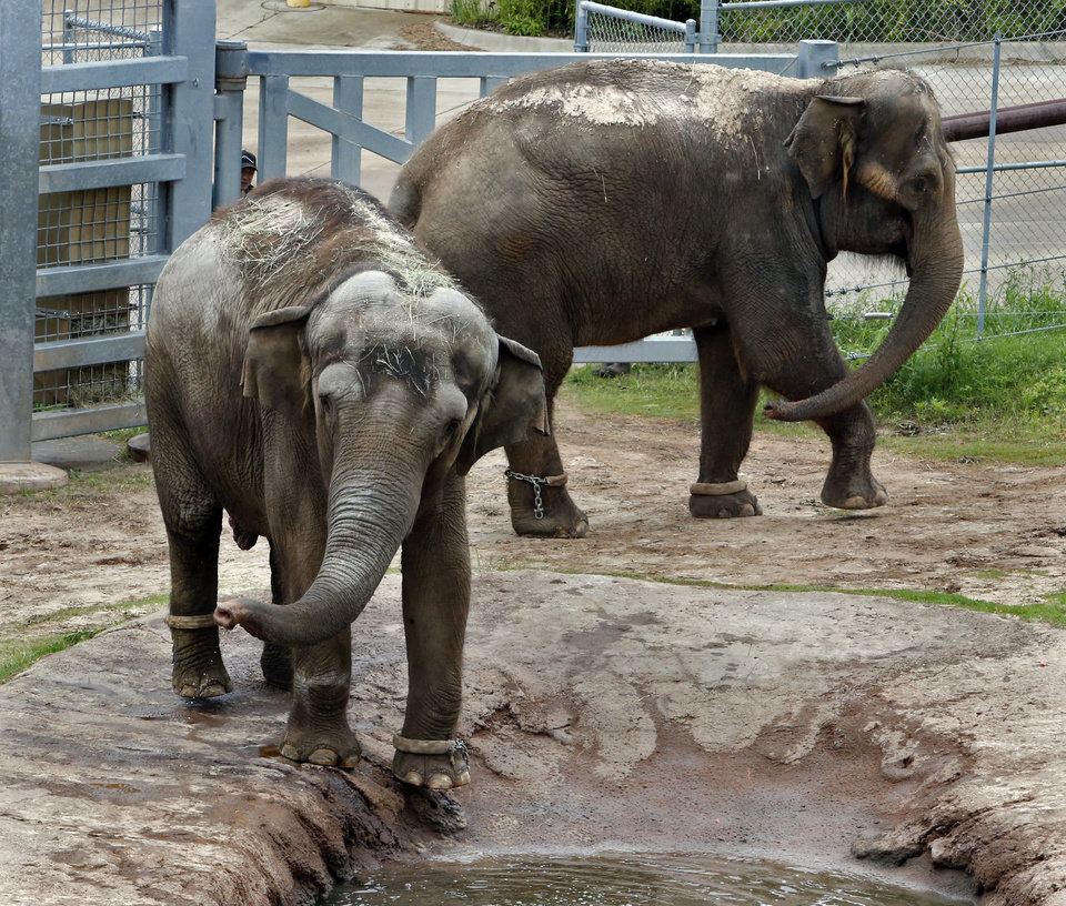 Photo - Asian Elephants Bamboo, left, and Chai check out their new surroundings at the Oklahoma City Zoo on Wednesday, May 13, 2015 in Oklahoma City, Okla.  Photo by Steve Sisney, The Oklahoman