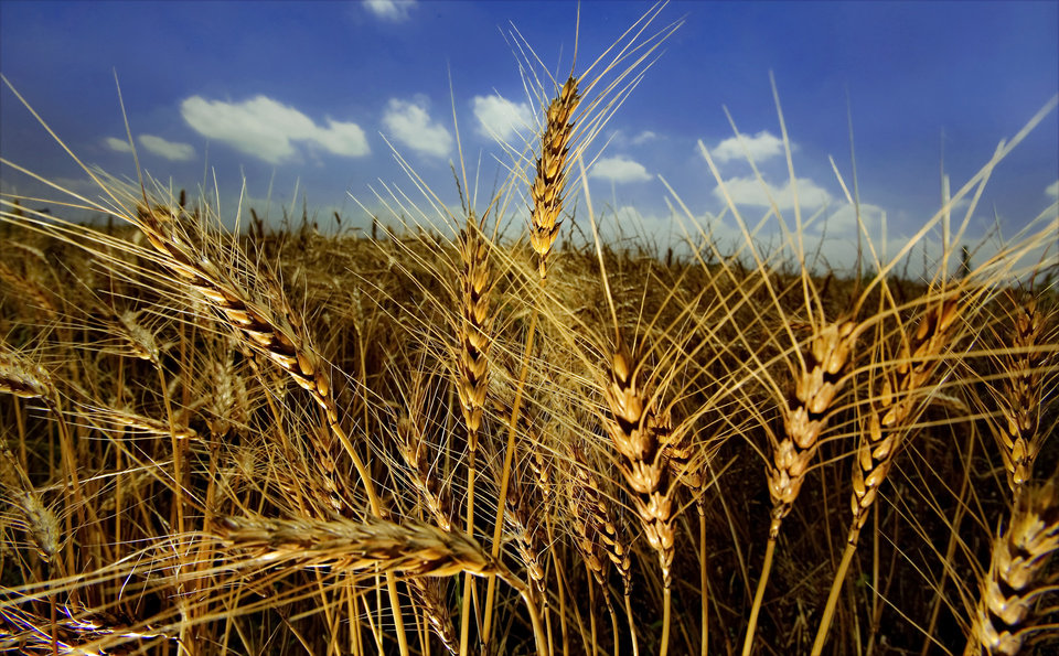 Photo - Golden stalks of wheat contrast against the blue sky before wheat harvest begins in central Oklahoma on Friday, June 12, 2009, in Yukon, Okla.   Photo by Chris Landsberger, The Oklahoman  ORG XMIT: KOD