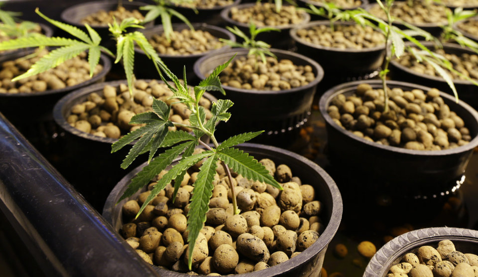 Photo - This July 1, 2014, photo shows marijuana plants in containers at Sea of Green Farms, a recreational pot grower in Seattle. Each plant will soon be individually bar-coded, allowing it to be tracked by the state of Washington at every step of the growing, packaging, delivery, and purchasing process. (AP Photo/Ted S. Warren)
