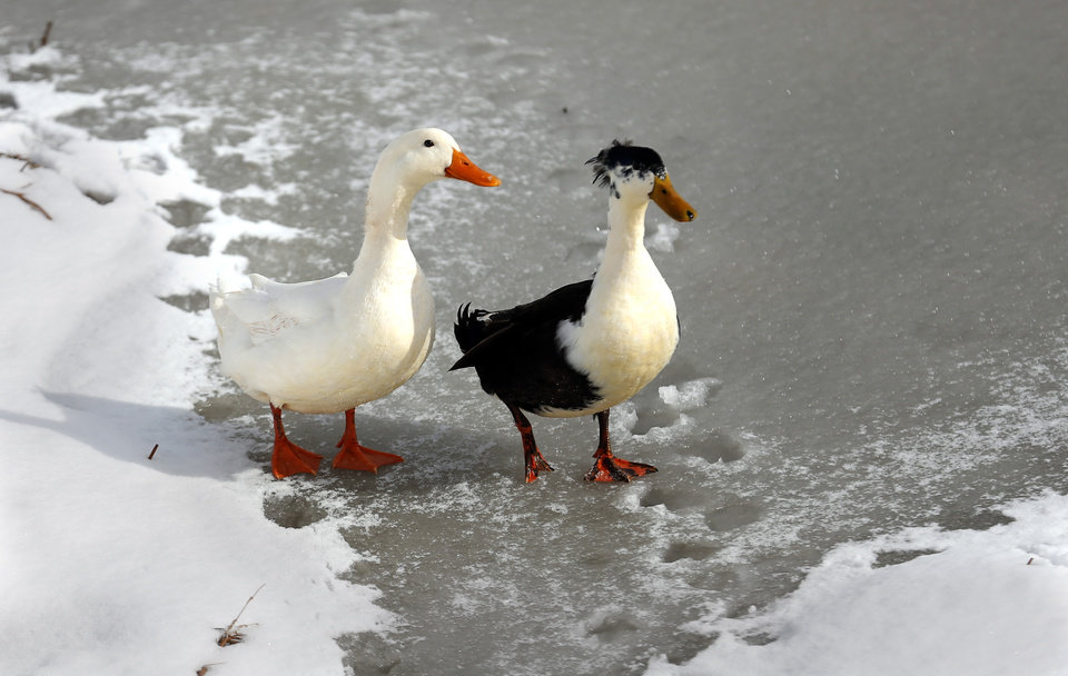 Ducks walk around on a frozen pond in a neighborhood near 164th and Penn in northwest Oklahoma City, Okla.,  Friday, Dec. 6, 2013. Photo by Sarah Phipps, The Oklahoman