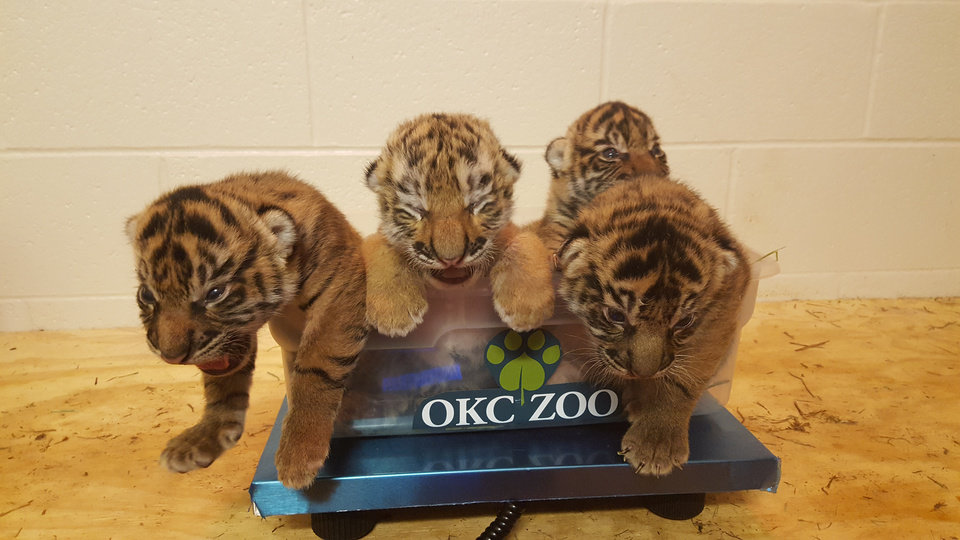 Photo - The new cub, Zoya, is second to the left. Provided by OKC Zoo.