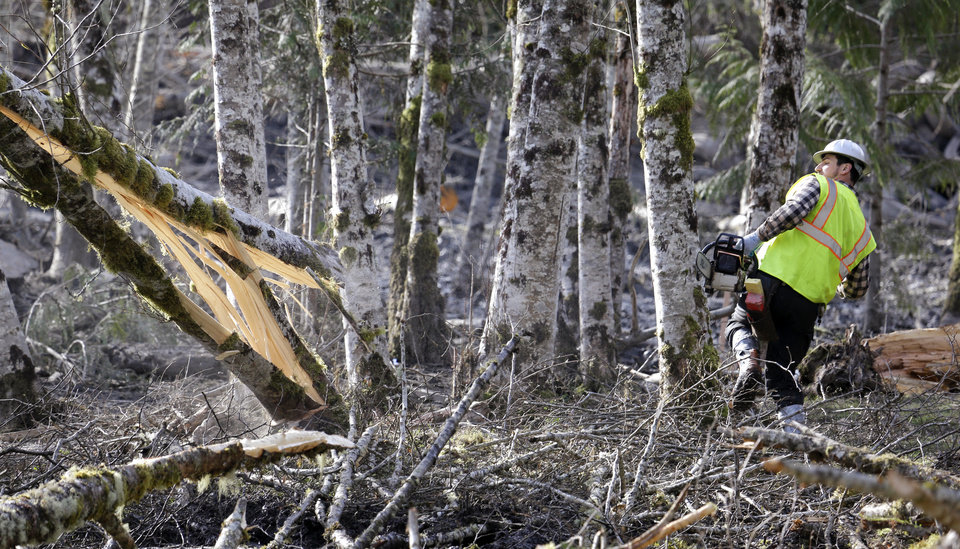 Photo - A logger leans back as he watches the tree he was cutting fall as he works to clear an area at the edge of a deadly mudslide, Wednesday, April 2, 2014, in Oso, Wash. Officials have so far confirmed the deaths of 29 people, although only 22 have been officially identified in information released Wednesday morning by the Snohomish County medical examiner's office. (AP Photo/Elaine Thompson)