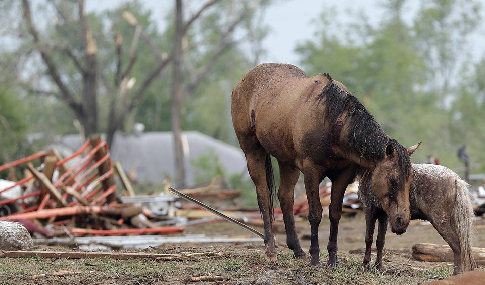 Injured horses huddle together after the tornado hit the area near 149th and Drexel on Monday, May 20, 2013 in Oklahoma City, Okla.  Photo by Chris Landsberger, The Oklahoman