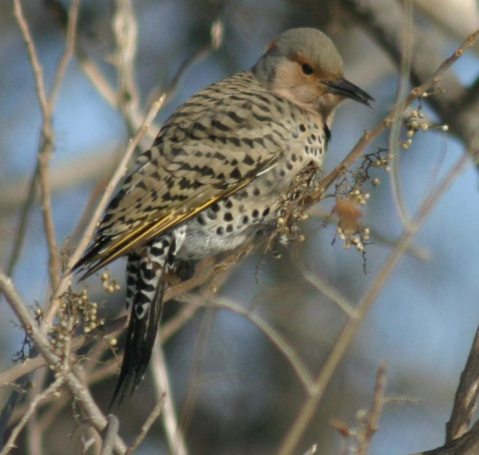 Yellow-Shafted Flicker at Dolese Park Jan 15, 07<br/><b>Community Photo By:</b> Tracy Cole<br/><b>Submitted By:</b> tracy, Warr Acres