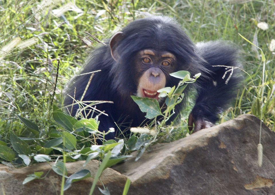 Chimpanzee Ruben plays at the Oklahoma City Zoo. Photo By Steve Gooch, The Oklahoman <strong>Steve Gooch - The Oklahoman</strong>