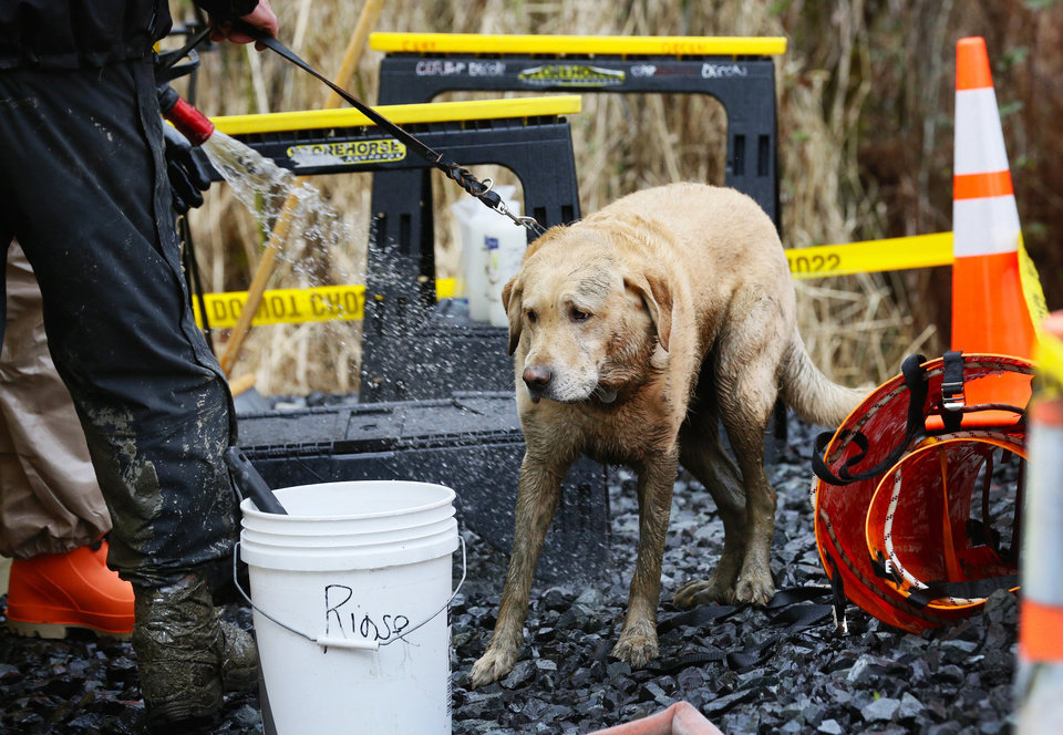 Photo - Rescue dog Nexus, muddy from working onsite, is decontaminated via hose after leaving the west side of the mudslide on Highway 530 near mile marker 37 on Sunday, March 30, 2014, in Arlington, Wash. Periods of rain and wind have hampered efforts the past two days, with some rain showers continuing today. (AP Photo/Rick Wilking, Pool)