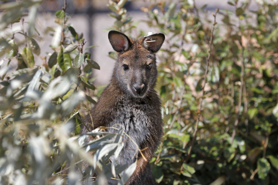 Photo -  Chet, a male wallaby, is at home in its new exhibit in the Children's Zoo at the Oklahoma City Zoo. [Photo By Steve Gooch, The Oklahoman]
