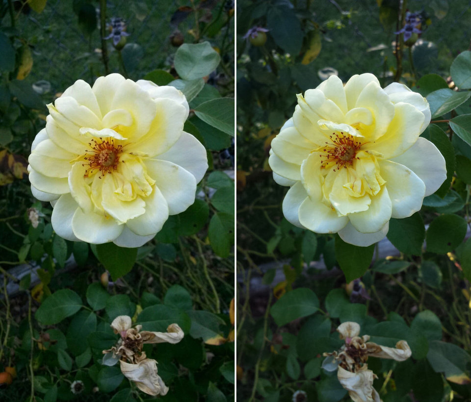 Photo - The photo on the left was taken with the Samsung Galaxy Mega, and the photo on the right was taken with a Samsung Galaxy S4. The colors in the Mega's photo aren't as full or accurate as the color's in the S4's photo, and the S4 shot a sharper image. Photo by Richard Hall, The Oklahoman
