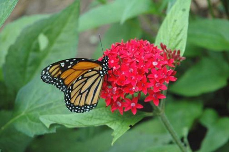A monarch butterfly enjoys this red pentad at the Oklahoma City Zoo's Flowers in Flight: The Butterfly Experience, now open for the season.<br/><b>Community Photo By:</b> Tara Henson<br/><b>Submitted By:</b> Mary, Oklahoma City