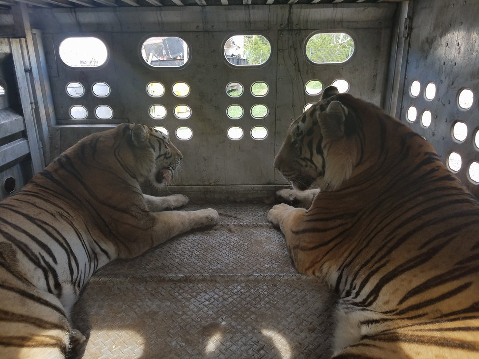 Photo -  These two tigers were part of a group of 19 animals shipped to Greater Wynnewood Animal Park in a cattle trailer. [Joseph Maldonado, Facebook]