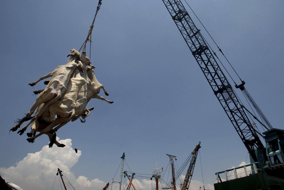 Photo - In this Saturday, Feb. 9, 2013 photo, cows from West Timor are lifted by a crane to be loaded onto waiting trucks and distributed across the main island of Java, upon arrival at Kali Mas port in Surabaya, East Java, Indonesia. The price of beef, the main ingredient in bakso, has hit a record high while other essential ingredients — garlic, shallots and chillies — have also recently skyrocketed. (AP Photo/Trisnadi)