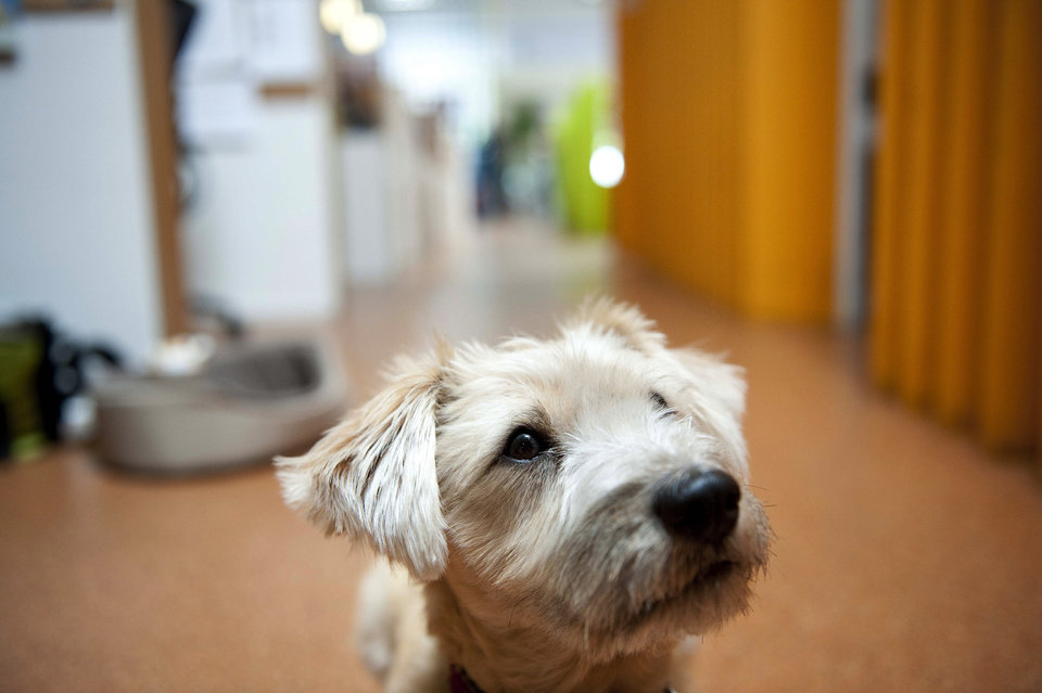 Photo -   Sandy, a terrier mix, waits for a treat while at work with her owner at Authentic Entertainment in Burbank, Calif., Monday, June 11, 2012. Sandy is one of millions of dogs that accompany their owners to dog-friendly businesses across the country every day. Even more will join her next Friday for Take Your Dog to Work Day. (AP Photo/Grant Hindsley)