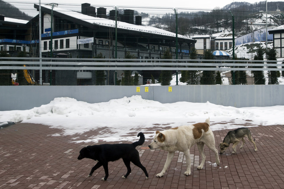 Photo - Stray dogs sit outside the Rosa Khutor Extreme Park course, a venue for the snowboarding and freestyle competitions of the 2014 Winter Olympics, in Sochi, Russia, Monday, Feb. 3, 2014.  A pest control company which has been killing stray dogs in Sochi for years told The Associated Press on Monday that it has a contract to exterminate more of the animals throughout the Olympics. (AP Photo/Pavel Golovkin)