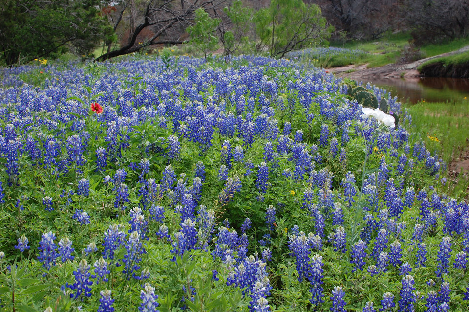 Photo - Bluebonnets carpet Texas Hill Country every spring.  Photo by Wesley K.H. Teo.