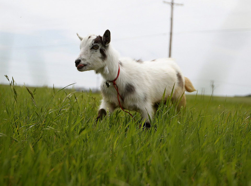 Wrigley the goat walks in a field next to Wilshire Road in Oklahoma City, Tuesday, Jan. 8, 2012. The groups is walking with a a goat to