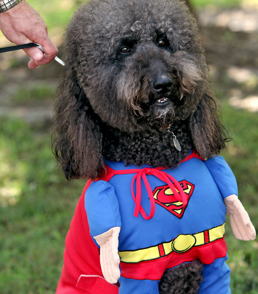 Photo - A Labradoodle named Snicker poses in his Superman costume during the 13th annual Nichols Hills Pooch Parade at Grand Park in Nichols Hills. Snicker is owned by Mark and Linda Hill of Nichols Hills.  The Oklahoman Archive  John Clanton