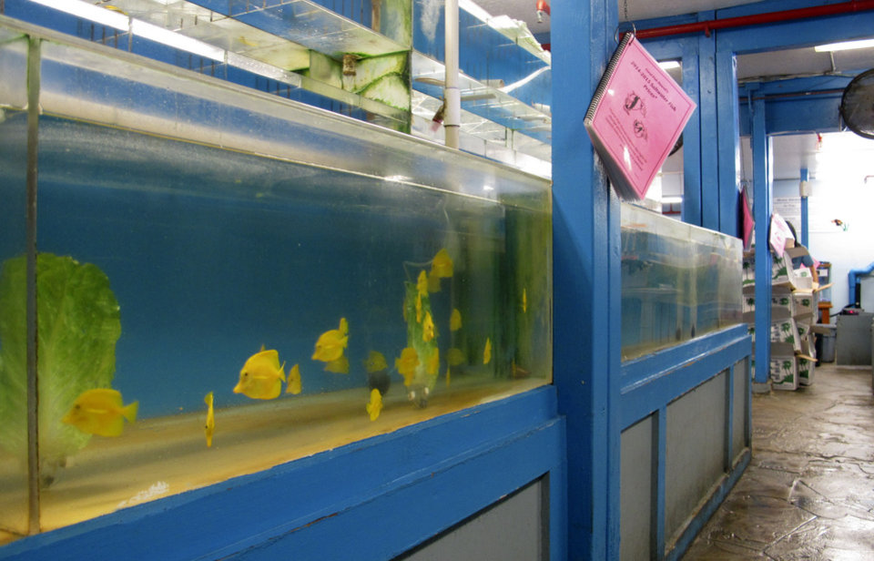 Photo - Yellow tang aquarium fish swim in a tank at a store in Aiea, Hawaii on Wednesday June 25, 2014. Scientists say the aquarium fishery off the Big Island is among the best managed in the world, but it's nevertheless become the focus of a fight over whether it's ever appropriate to remove fish from reefs for people to look at and enjoy. (AP Photo/Audrey McAvoy)