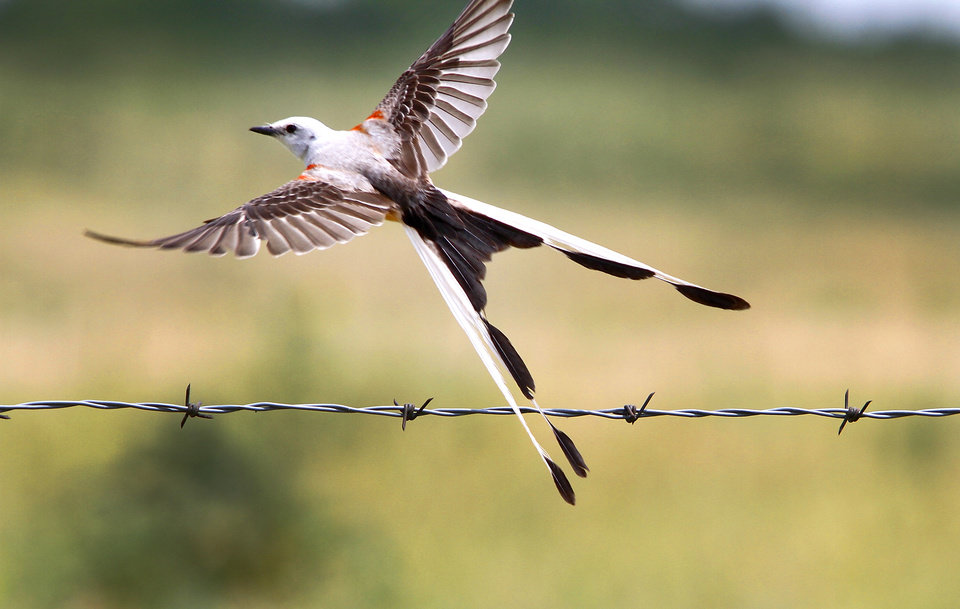 A scissor-tailed flycatcher takes flight at Fort Reno in El Reno, Tuesday, 10, 2012. Photo By Steve Gooch, The Oklahoman