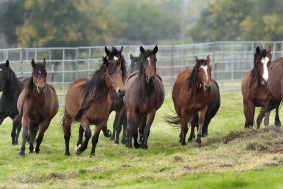 Photo - Mustangs at the Pauls Valley adoption center.  STEVE SISNEY