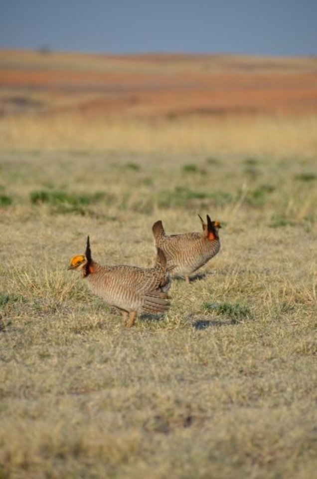 Photo -  Lesser prairie chickens are photographed on western Oklahoma grasslands.