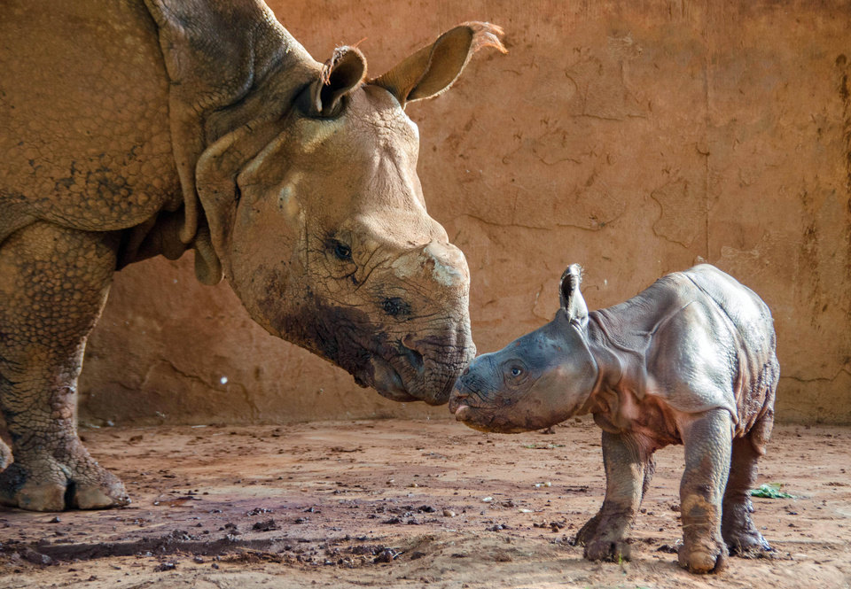 Photo -  Niki, an Indian rhino, tends to her offspring, a 120-pound male born Saturday night at the Oklahoma City Zoo. The baby rhino has not been named. PHOTO PROVIDED BY OKLAHOMA CITY ZOO      -