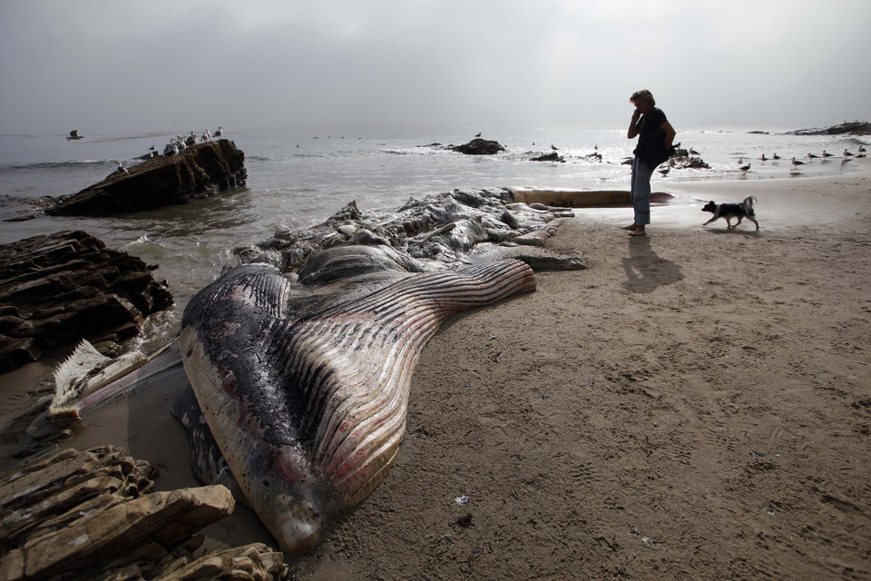 A woman walks her dog past a dead young male fin whale that washed up Monday between the Paradise Cove and Point Dume areas of Malibu, Calif. on Thursday, Dec. 6, 2012. The rotting carcass near celebrity homes is causing a gigantic cleanup problem as authorities try to decide who\'s responsible for getting rid of it. Los Angeles County lifeguards planned to try to pull the 40,000-pound carcass out to sea, perhaps at high tide Thursday, said Cindy Reyes, executive director of the California Wildlife Center.( AP Photo/Nick Ut)