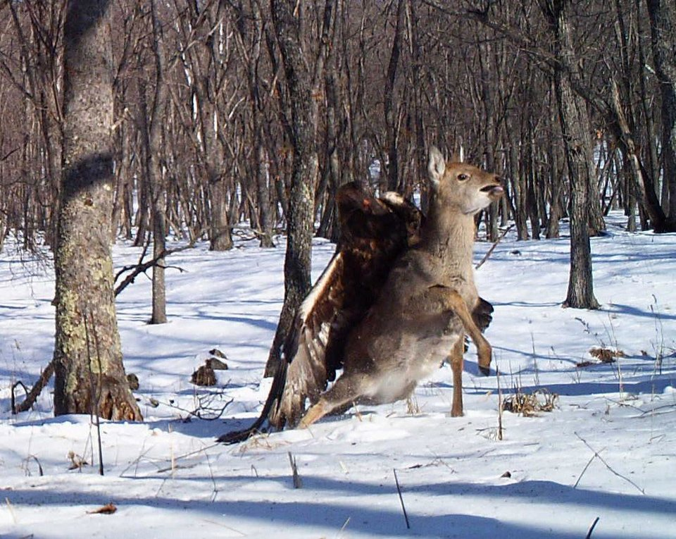 In this photo taken from a remote camera at the Lazovsky State Nature Reserve in the Primorye region of Russia�s Far East on Dec. 8, 2011, a golden eagle attacks a deer. Remote cameras set up to track Siberian tigers in Russia have caught a golden eagle attack on a sika deer, snapping three photos as the massive bird digs its talons into the distressed animal�s back. Golden eagles typically eat small birds or mammals, but they�ve also been known to target deer. It�s rare for a camera to catch such an attack in progress. (AP Photo/The Zoological Society of London)
