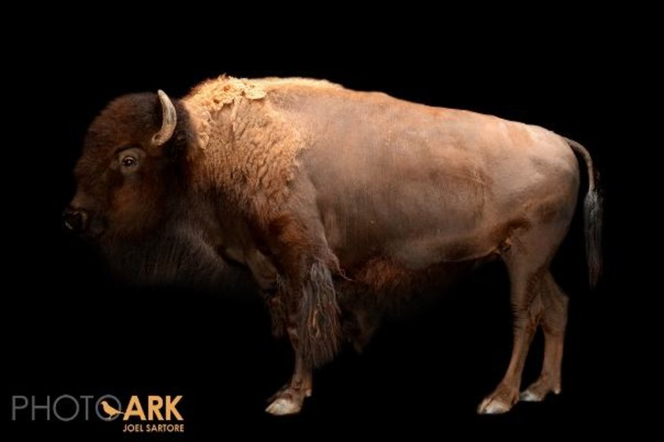 Photo -  National Geographic photographer Joel Sartore recently photographed the American bison Mary Ann at the Oklahoma City Zoo, for his ongoing Photo Ark project. Through his Photo Ark, Sartore is trying to take portraits of every animal species in captivity. Photo provided