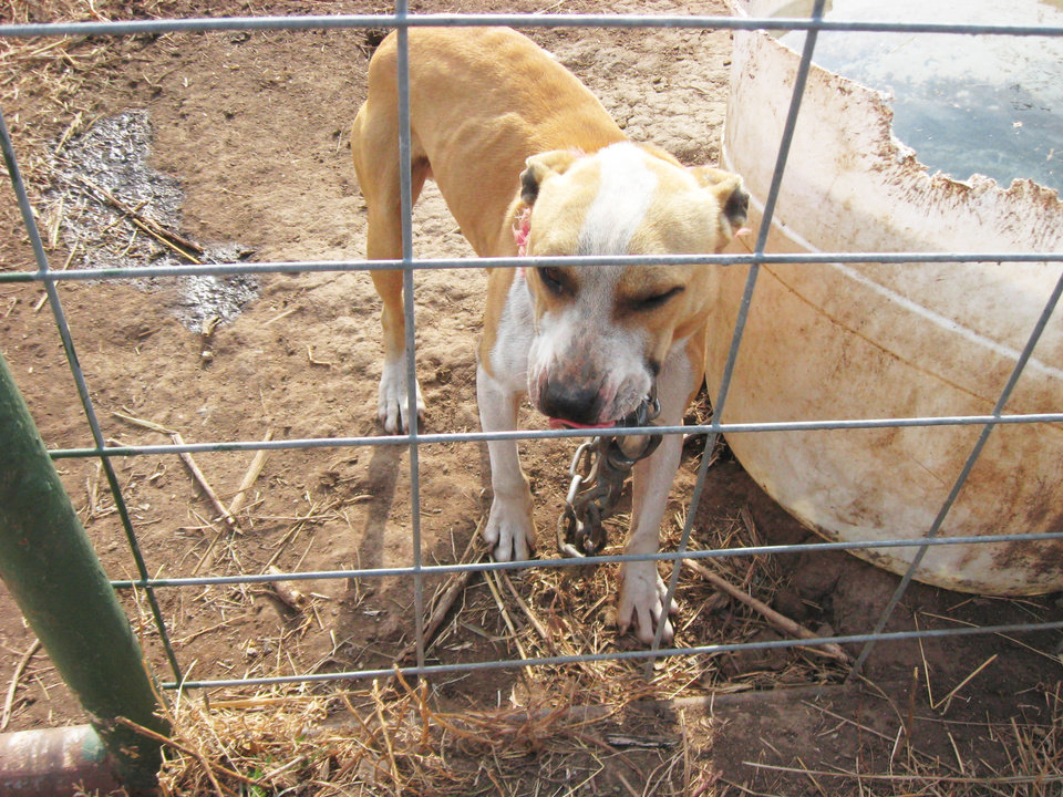 Photo - Veterinarian Seletha Sanders evaluated the dogs on their health status and body condition.  Photo provided by Carol Murphy