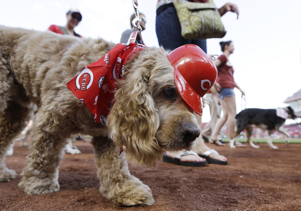 Photo - A dog wearing Cincinnati Reds attire is led around the field at Great American Ballpark in a parade of dogs for Bark in the Park, prior to the Reds' baseball game against the San Diego Padres, Tuesday, May 13, 2014, in Cincinnati. (AP Photo)