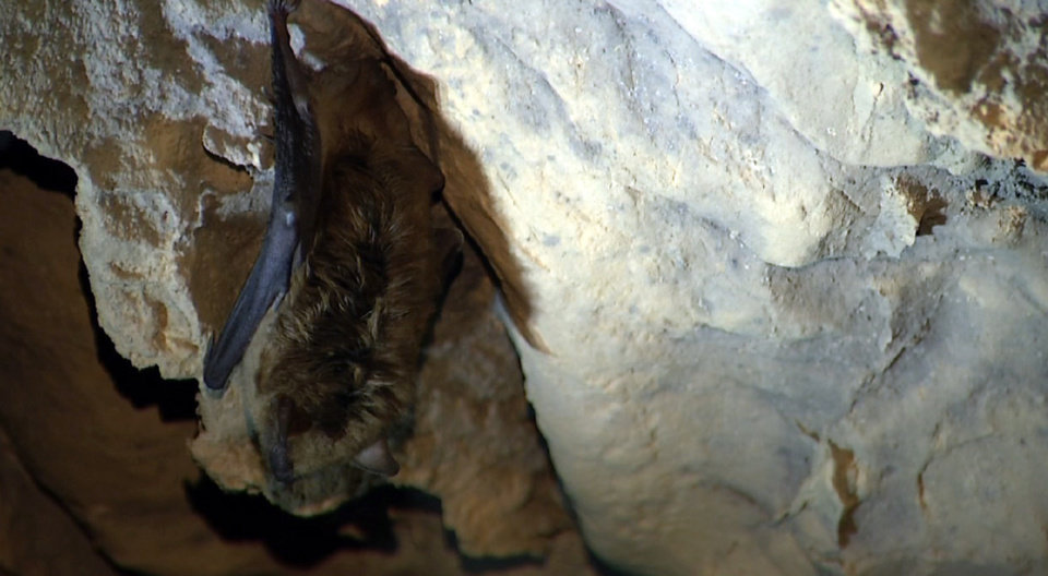 Photo - In this image from video, a bat clings to a cave wall inside White River Cave in Rockmart, Georgia. The disease that has killed more than 6 million cave-dwelling bats in the United States is on the move and wildlife biologists are worried. It gets its name from a white fungus that's found on the muzzles, ears and wings of infected bats. In Tennessee, some caves are closed to the public. At Mammoth Cave National Park, visitors are required to scrub their shoes after cave tours. Wildlife biologists say the threat is real -- there is no known way to stop the spread. (AP Photo/Alex Sanz)