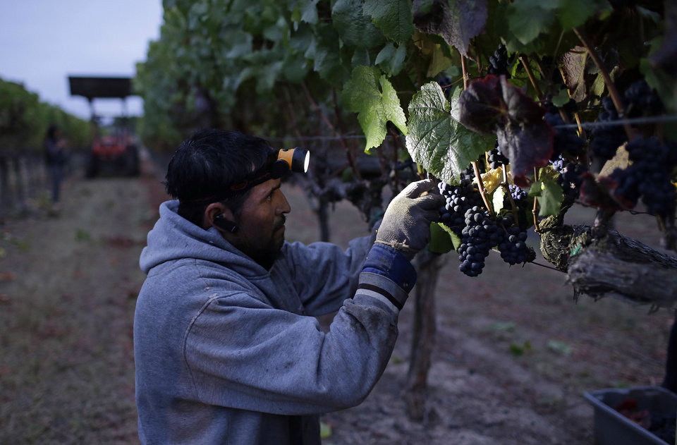 Photo - A farm worker picks grapes at sunrise in the Lee Vineyard during the first day of harvest at Saintsbury winery Friday, Aug. 29, 2014, in Napa, Calif. The winery, in the Carneros appellation, began its harvest Friday four days late after sustaining earthquake damage on Sunday. (AP Photo/Eric Risberg)