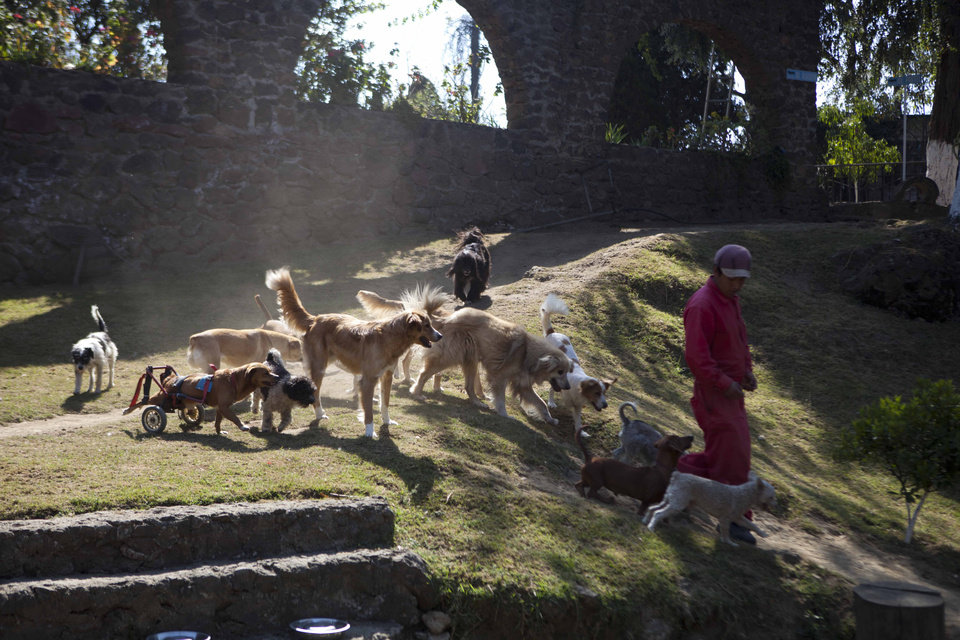 Photo - A pack of dogs follow a worker at the at the