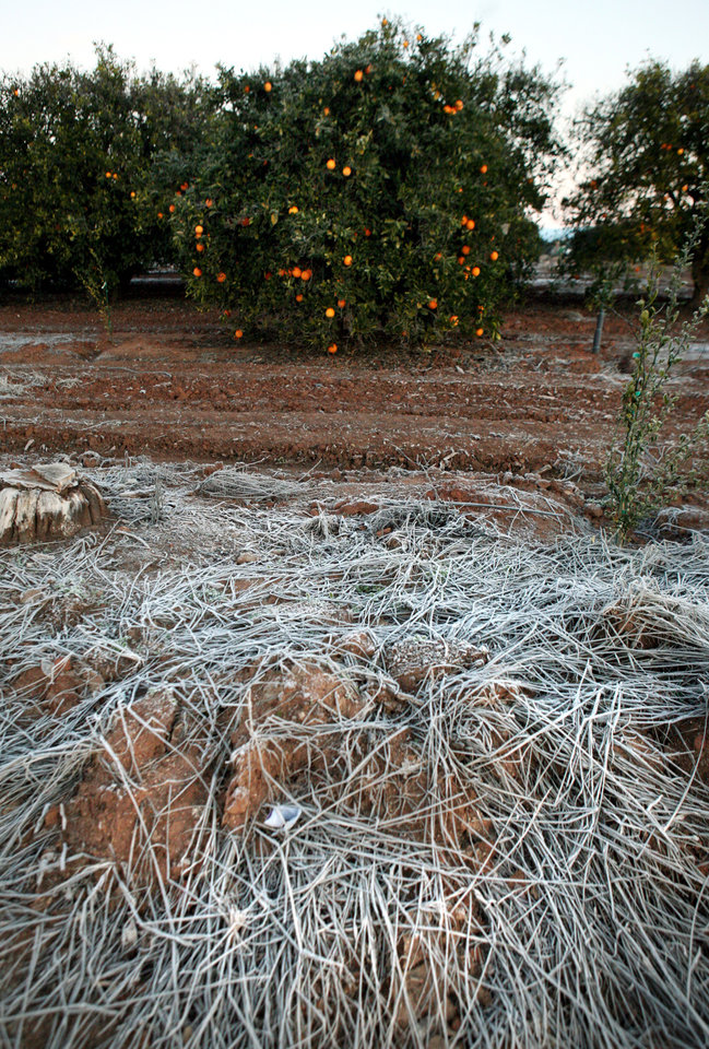 This Jan. 12, 2013, photo shows frost in an orange grove east of Clovis, Calif., after a night of freezing temperatures. As an unusual cold spell gripped parts of the West for a fifth day, some California citrus growers reported damage to crops and an agriculture official said national prices on lettuce have started to rise because of lost produce in Arizona. (AP Photo/The Fresno Bee, Craig Kohlruss) LOCAL PRINT OUT (VISALIA TIMES-DELTA, REEDY EXPONENT, KINGBURG RECORDER, SELMA ENTERPRISE, HANFORD SENTINEL, PORTERVILLE RECORDER, MADERA TRIBUNE, THE BUSINESS JOURANL FRENSO); LOCAL TV OUT (KSEE24, KFSN30, KGE47, KMPH26)