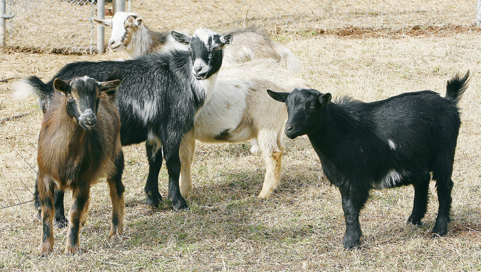 Nigerian dwarf goats herd together Wednesday at the Oklahoma City Zoo.  PHOTOS BY PAUL B. SOUTHERLAND, THE OKLAHOMAN