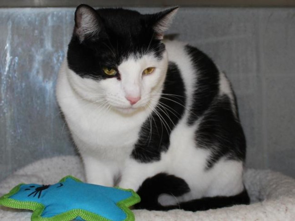 Photo -  Damon is a 2-year-old black and white domestic shorthair. He is looking for his forever home. Damon is available for adoption from the Edmond Animal Welfare Shelter, 2424 Old Timbers Drive. His adoption fee is $25. Call 405-216-7615. [PHOTO PROVIDED]