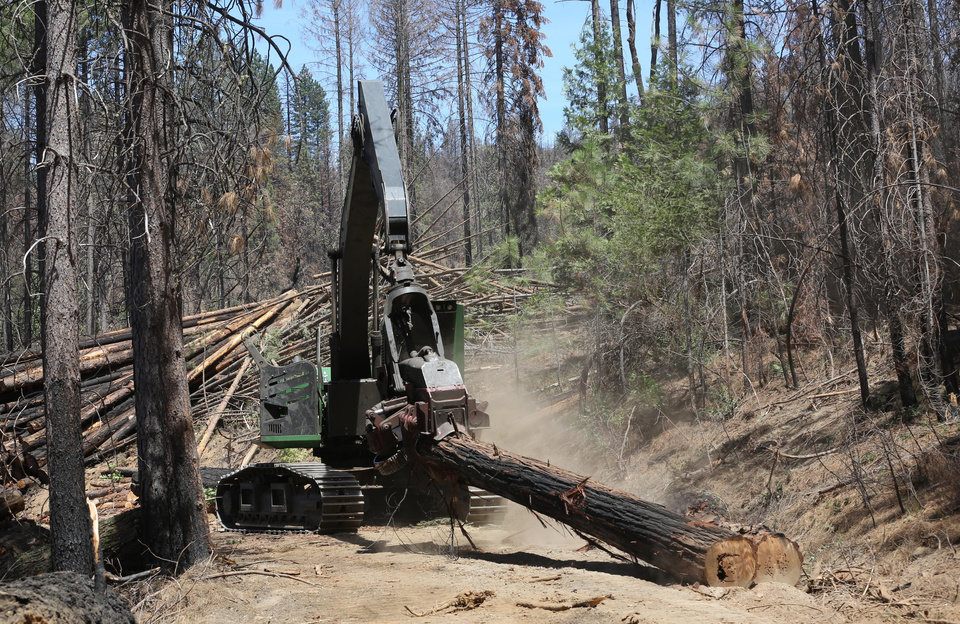 Photo - In this Friday, July 25, 2014 photo, branches are  removed from a tree harvested from the burned by the Rim Fire, is hauled removed from the burn area to be trucked out of the Stanislaus National Forest near Groveland, Calif.  Nearly a year after the Rim Fire charred thousands of acres of forest in California's High Sierra, a debate rages over what to do with the dead trees, salvage the timber to pay for forest replanting and restoration or let nature take its course. Environmentalist say that the burned trees and new growth beneath them create vital habitat for dwindling bird such as spotted owls, and black-backed woodpeckers and other wildlife. (AP Photo/Rich Pedroncelli)