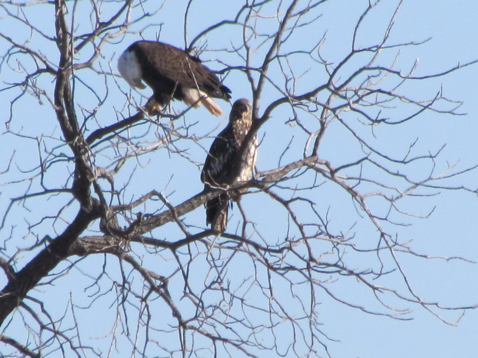 Bald Eagle and Eaglet at Guthrie Lake